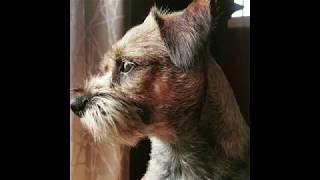 Hand Stripping a Border Terrier