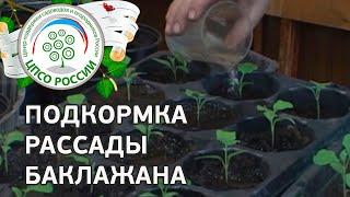 Выращиваем баклажаны. Как и чем подкормить баклажаны.(В этом видео - все секреты подкормки рассады баклажанов. Когда проводить подкормку, как выбрать удобрение..., 2016-03-19T09:49:40.000Z)