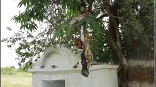 Pochamma Shrine Goat Sacrifice Leg Hanging on Tree GP