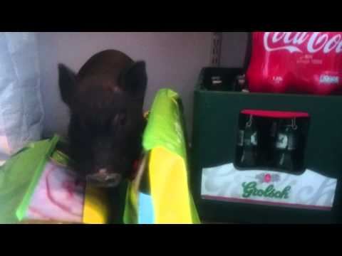 James-Bacon MicroPig tries steal some beer