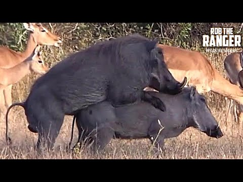 WILDlife: Warthogs Do It Piggy Style!