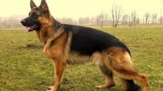 Немецкая овчарка - Полное Описание Породы