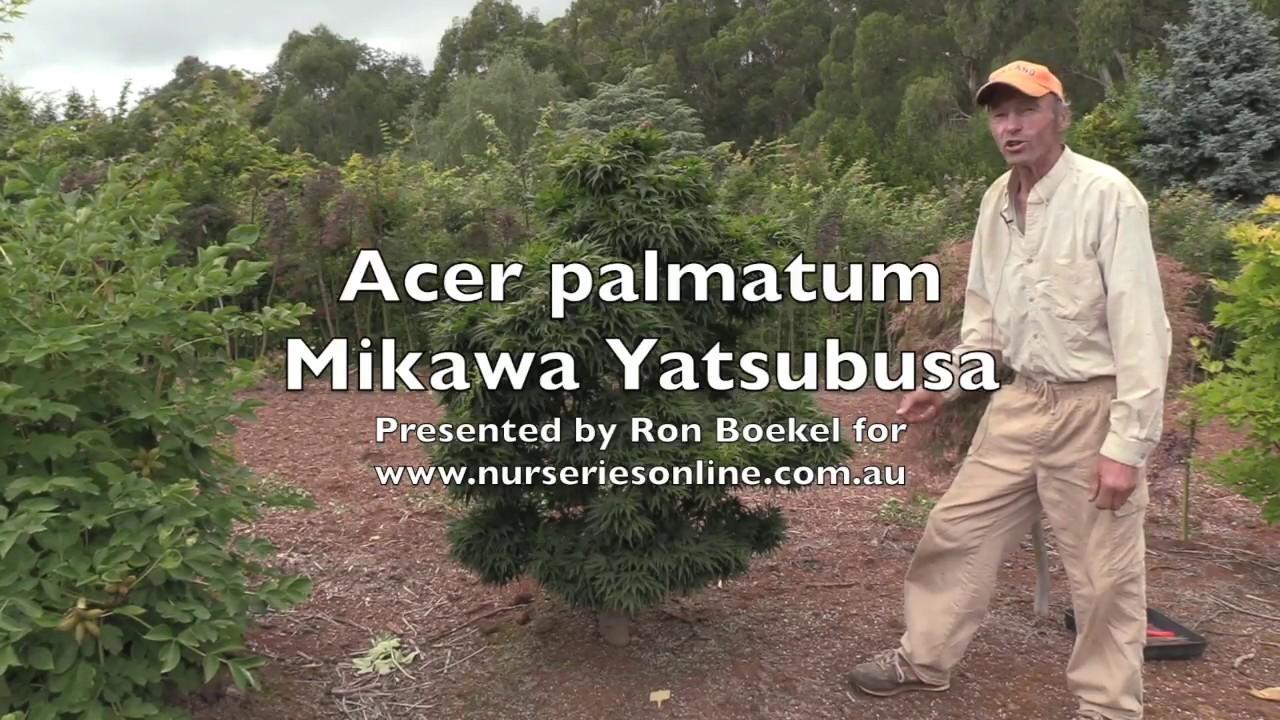 Acer Palmatum Mikawa Yatsubusa Youtube