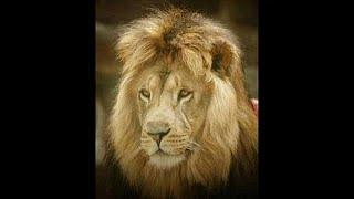 oroszlán dallam képmutatók és paraziták)