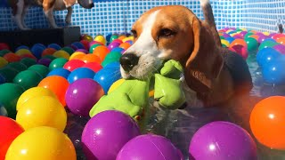 Funny Dogs Ball Pit Party Compilation : Beagle Dogs Louie & Marie
