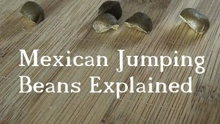 Mexican Jumping Beans Explained