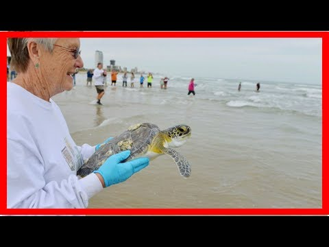 Climate change is turning 99 percent of these baby sea turtles female