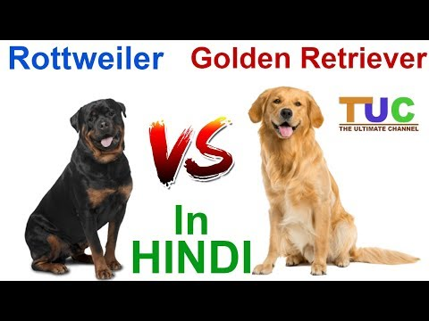 Rottweiler VS Golden Retriever In HINDI | Dog vs Dog | Dog Comparison | The Ultimate Channel