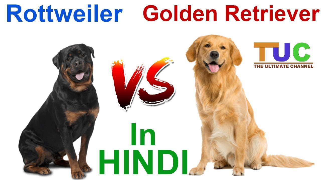 Rottweiler Vs Golden Retriever In Hindi Dog Vs Dog Dog