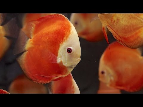 Red Melon Discus Tank | Red Melon Diskus-Aquarium