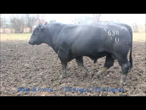 Chiangus bull breeding cows at CK Cattle