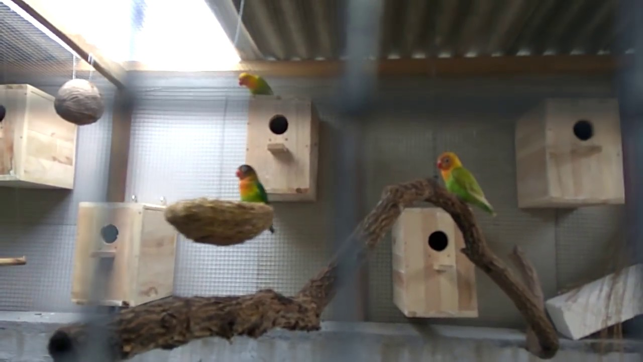 LOVEBIRD kandang koloni  YouTube