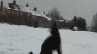 Border Collie does tricks in the snow!