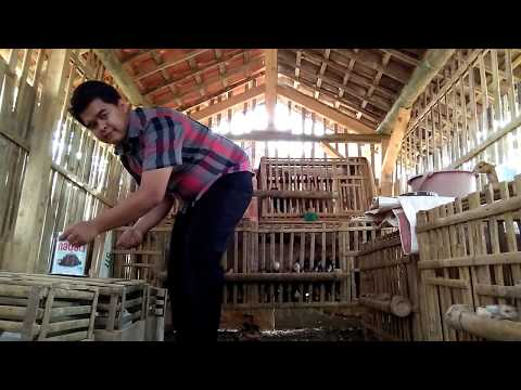 Ternak Ayam Kampung Asli