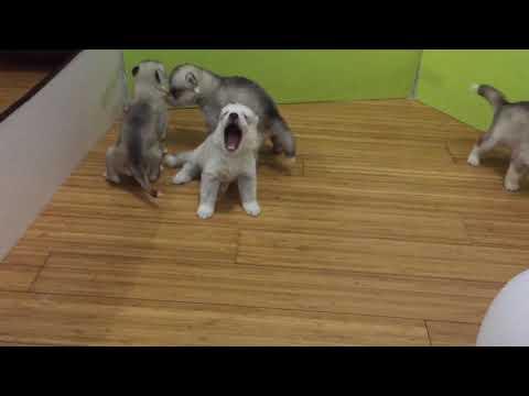 Alaskan Malamute + Siberian Husky Puppy For Sale - 1 Month, Husky Babies from Seri Kembangan, Sela..
