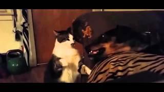 Кот троллит собаку - кот и собака / смешные коты и собаки видео