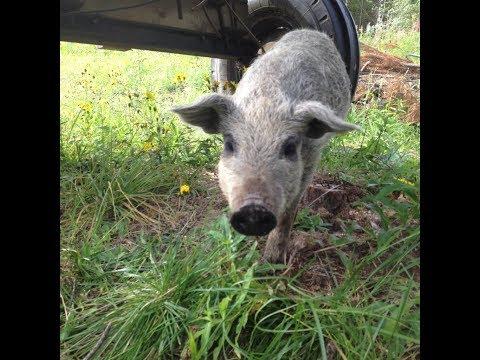 Вопрос: Как выбрать электропастух для свиней?