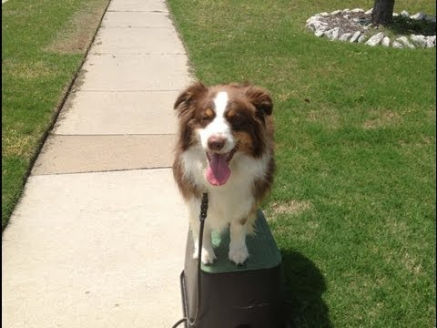 Copper - Australian Shepherd Training - Oklahoma