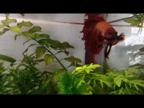 My Betta Has Got A Bloated Belly