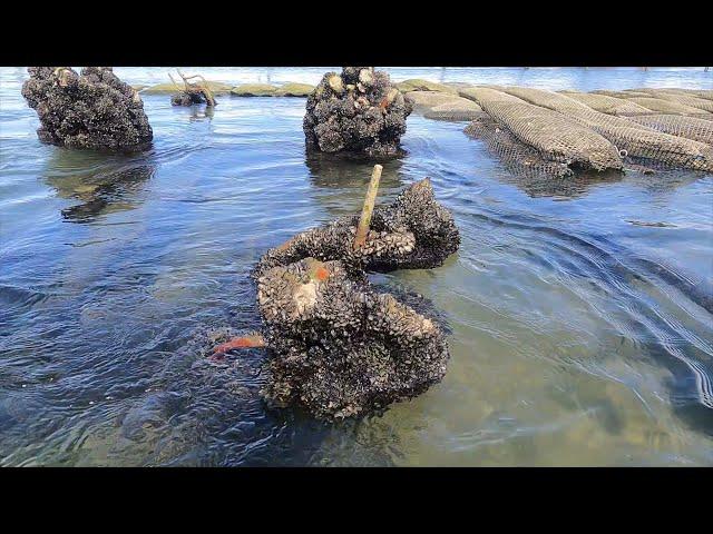 Banc d'Arguin à marée Montante - Les parcs à Huitres se découvrent - Cap Ferret Bassin d'Arcachon