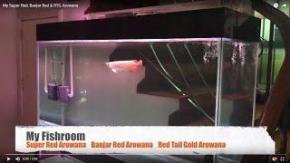 Video [My Fish Room 1] Super Red Arowana, Banjar Red Arowana & RTG Arowana download MP3, 3GP, MP4, WEBM, AVI, FLV September 2018