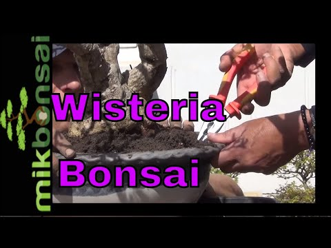 Repotting a large Wisteria, how to care and maintain your wisteria bonsai tree