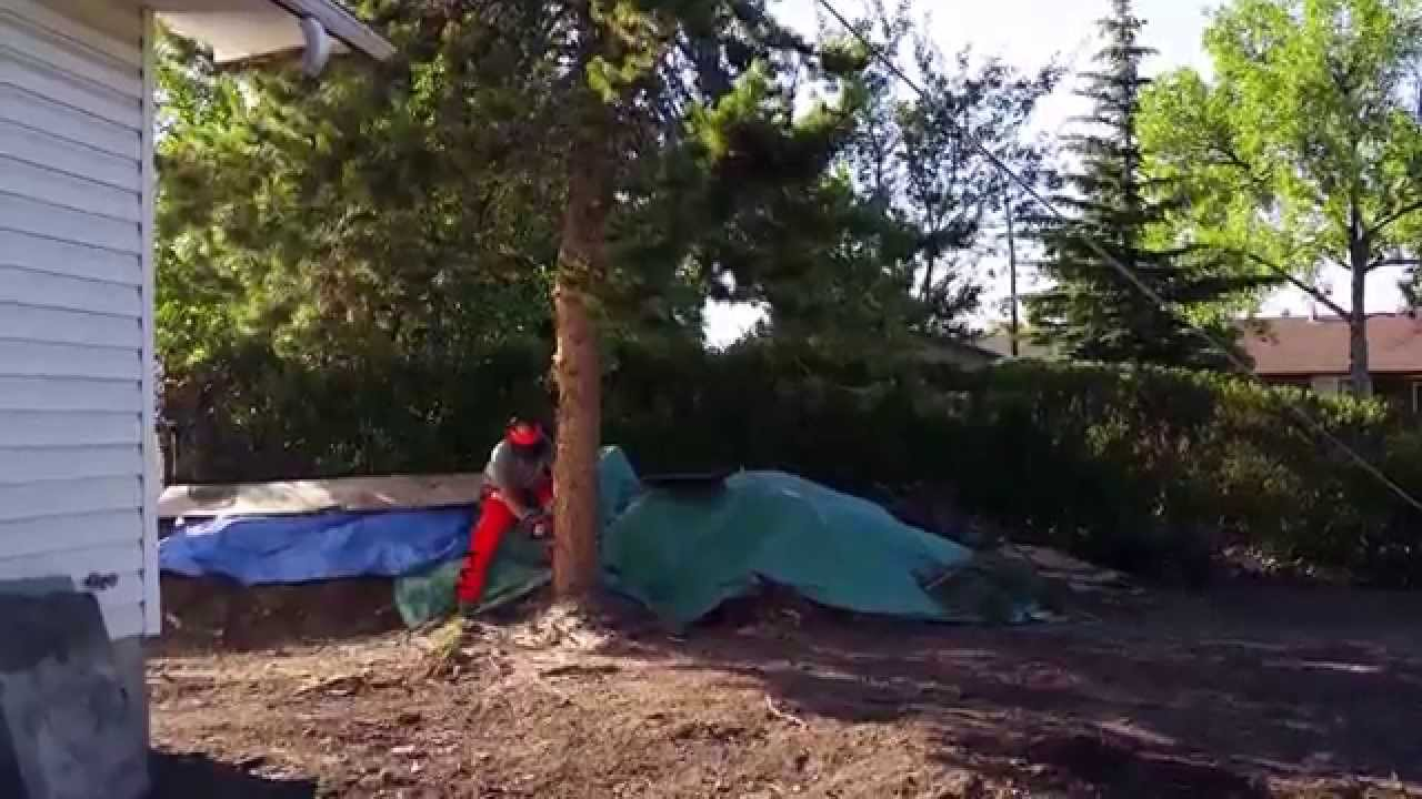 how to cut down a tree with a chainsaw youtube