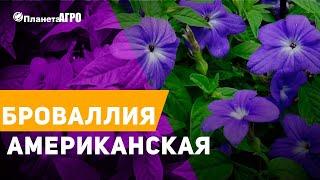 🦋 Семена цветов Броваллия американская 🌿 Планета Агро