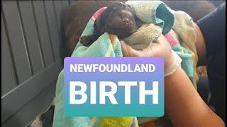 NEWFOUNDLAND DOG GIVES BIRTH // DOG BREEDING// Newfie labour & whelping video part 2