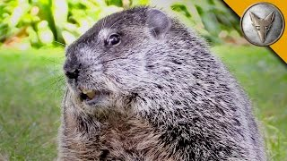 Happy Groundhog Day! - Meet the Future Star of Groundhog