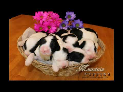January 2020 Sheepadoodle Puppies For Sale