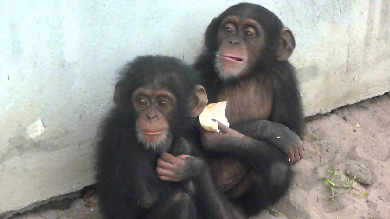 Illegal Chimpanzee Baby Pets - YouTube