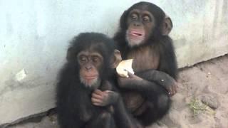 Illegal Chimpanzee Baby Pets
