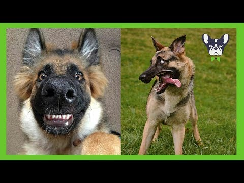 Funny and Cute German Shepherd Puppies Compilation
