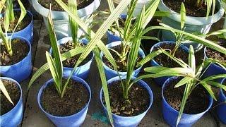 видео Как вырастить финиковую пальму?