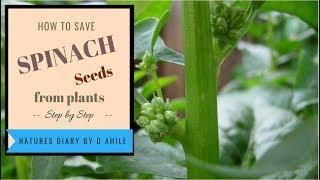 How to save spinach seeds कैसे पाए पालक के बिज