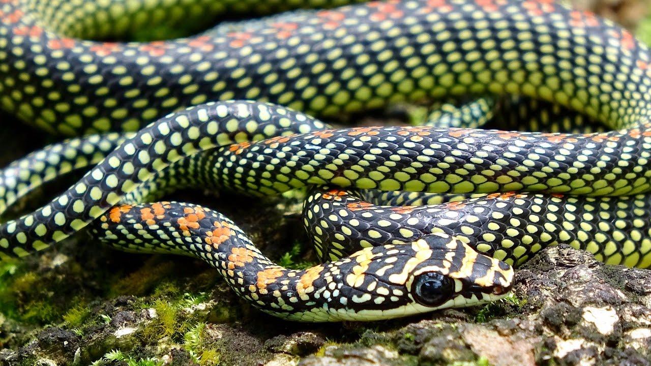 Paradise Flying Snake Youtube