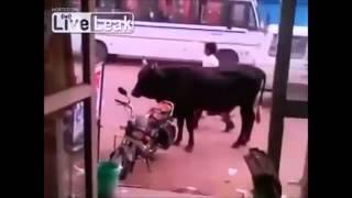 Bull Tries to Hump a Bike   YouTube