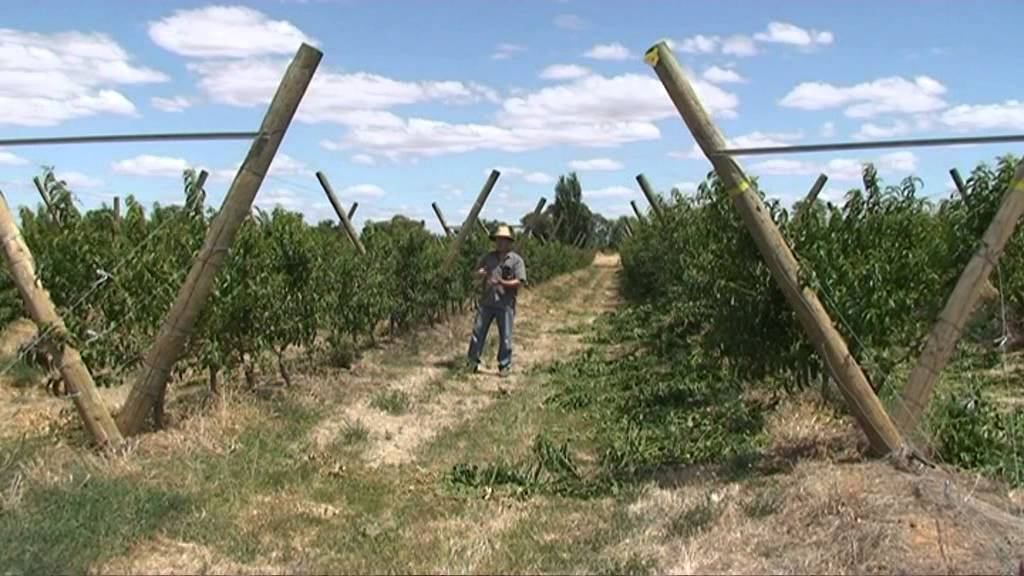 Introduction to Peach Cropload Canopy Experiment Tatura Trellis & Introduction to Peach Cropload Canopy Experiment Tatura Trellis ...