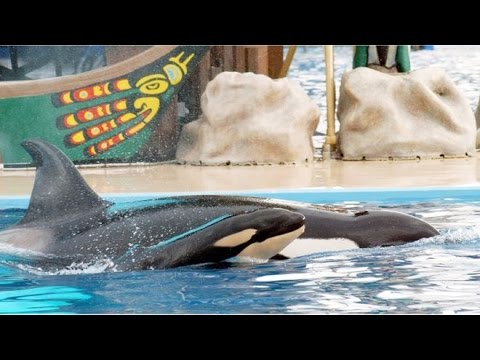 SeaWorld San Diego barred from breeding orcas in captivity