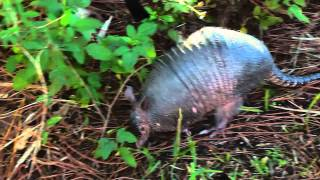 Armadillo on Honey moon Island, FL