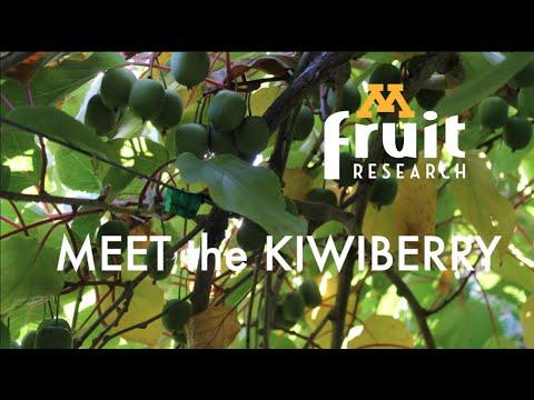 Meet the Kiwiberry
