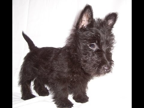 Scottish Terrier, Puppies, Dogs, For Sale, In Colorado Springs, Colorado, CO, 19Breeders, Lakewood