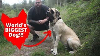 How I Trained The World's Biggest Dog