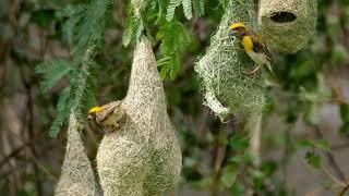 vuclip Weaver Bird Nest, बया पक्षी की लव स्टोरी, Engineer Bird, Baya Weaver Love Story
