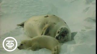 В объективе - животные. Ласки гренландского тюленя (1983)