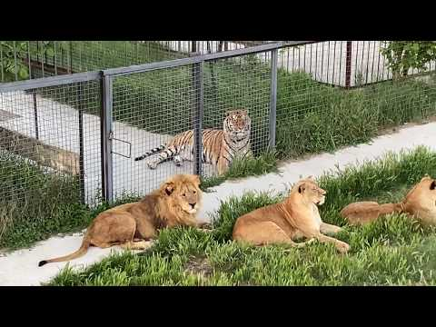 Такую картину НЕ ЧАСТО УВИДИШЬ ! Львы Чук , Гек и Кай в дозоре !