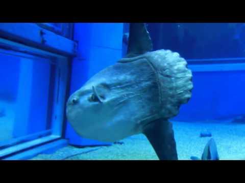 Whale sharks, ocean sunfish, manta rays & other strange sea creatures @ Osaka Aquarium [HD]