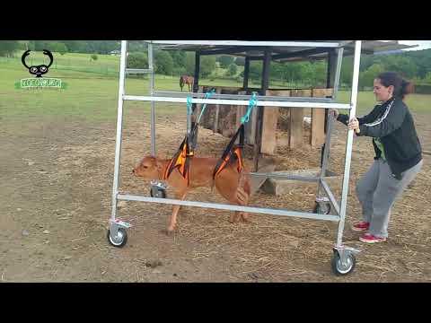 Un becerro de O Grove, primer ternero con 'silla de ruedas'