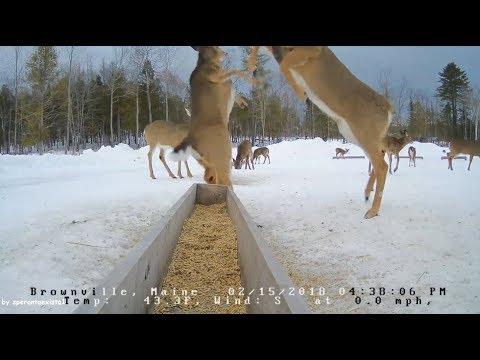 Brownville Food Pantry For Deer ~ Dominant Doe ~ 2.15.18
